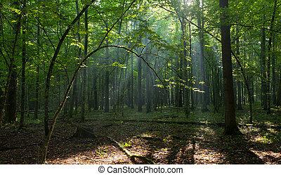 Bent hornbeam tree still alive in summer with sunbeam ...