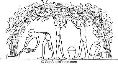 berço, organizado, engraving., árvore, vindima