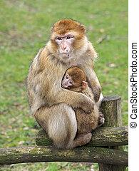 berber, macaco, mãe, com, bebê