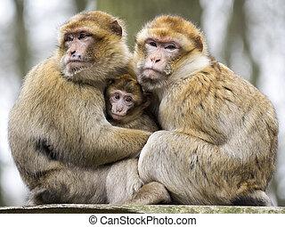 berber, macacos, com, bebê