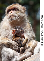 Berber Monkeys - Berber Monkey Mother takes care about her...