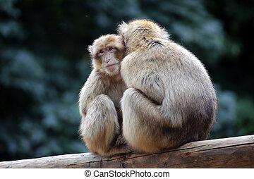 Berber monkeys