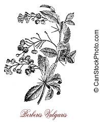 Berberis vulgaris or barberry, old print