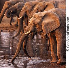 bere, elefanti