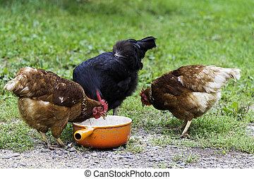 bereich, hühner, frei