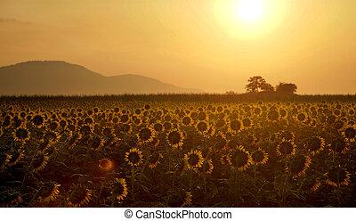 berg, aus, sonnenaufgang, sonnenblumenfeld