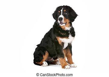 berg,  bernese, hund, junger Hund