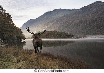 berg, gegen, mächtig, Hirsch, See, Szene, Herbst, rehbock, Betäuben, Aussehen, heraus, über, landschaftsbild, rotes