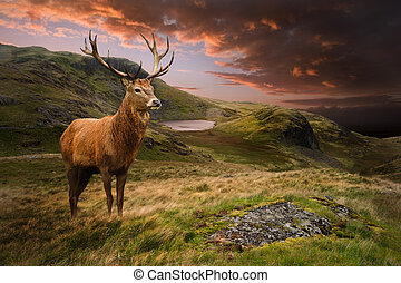 berg, hertje, hert, dramatisch, ondergaande zon , rood, ...