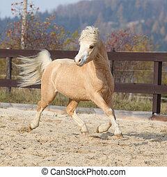 berg, pony, welsh, herfst, rennende , prachtig