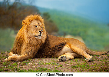berg, rusten, leeuw, mannelijke , hebben, het liggen