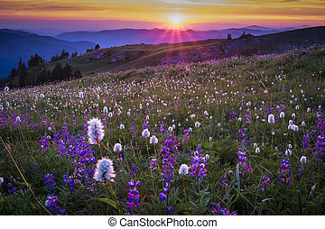 berg, wildflowers, sonnenuntergang, backlit