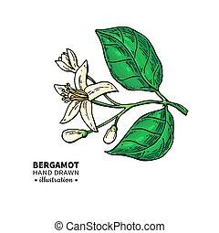 Bergamot flower branch vector drawing. Isolated vintage ...