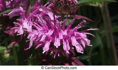 Bergamot, Monarda didyma in bloom - close up