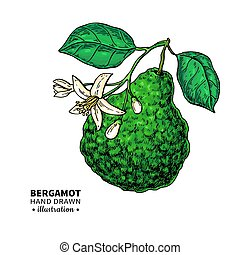 Bergamot vector drawing. Isolated vintage illustration of ...