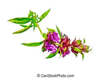 Bergamot with pink flowers