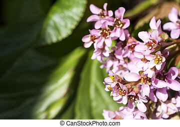 Pale pink bergenia stracheyi flowers in early spring