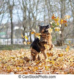 berger allemand, chien, composition