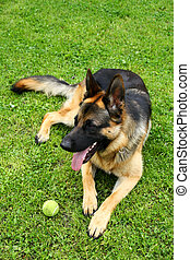 berger allemand, chien jouet