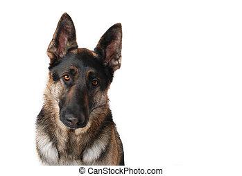 berger allemand, chien