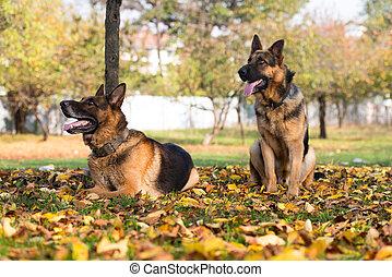 berger allemand, chien policier, alsacien