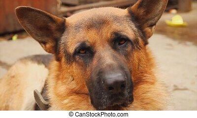 berger allemand, chien, portrait
