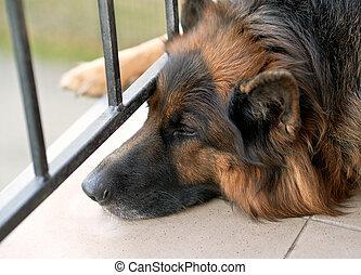berger allemand, chien, triste