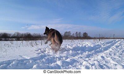 berger, allemand, chien