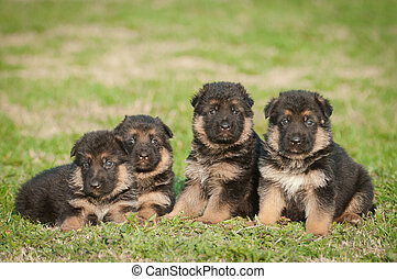 berger allemand, chiots