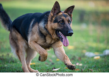 berger allemand, courant, chien
