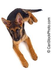 berger allemand, jeune, chien