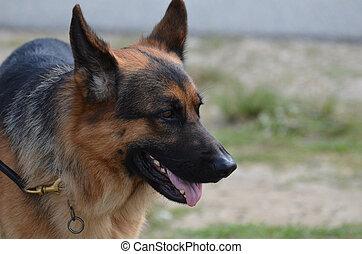 berger allemand, laisse, chien