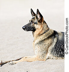 berger allemand, plage, chien