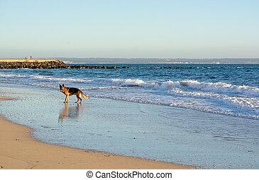 berger allemand, plage, jeux, chien