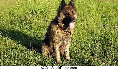 berger, allemand, séance, chien vert, herbe