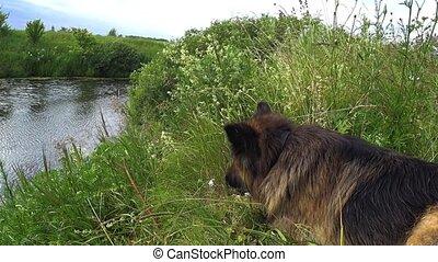 berger, allemand, stick., ronger, chien