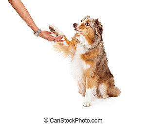 berger australien, étendre, humain, chien, patte