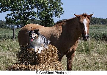 berger, australien, cheval