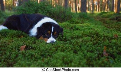 berger, australien, chien, forest., pin, nature.