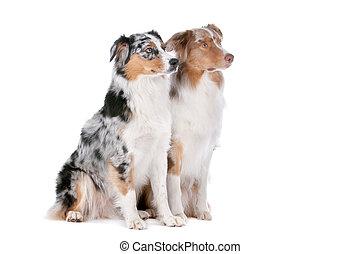berger, australien, deux, chiens
