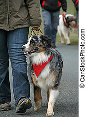 berger, australien, promenade chien