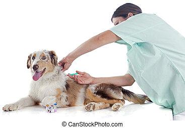 berger australien, vétérinaire