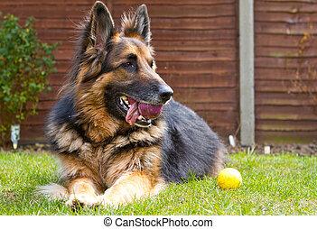 berger, balle, jardin, allemand, pose, chien, sien, bouche