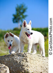 Berger Blanc Suisse dog - White Swiss Shepherd puppy