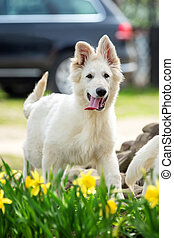 Berger Blanc Suisse White german shepherd poppy - Berger...