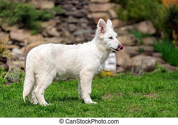 Berger Blanc Suisse White german shepherd poppy - Berger...