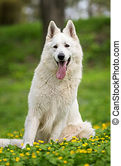 Berger Blanc Suisse White german shepherd - White german...