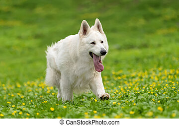 Berger Blanc Suisse White german shepherd - White german...