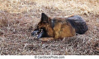 berger, chien, allemand