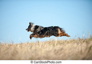 berger, chien, australien